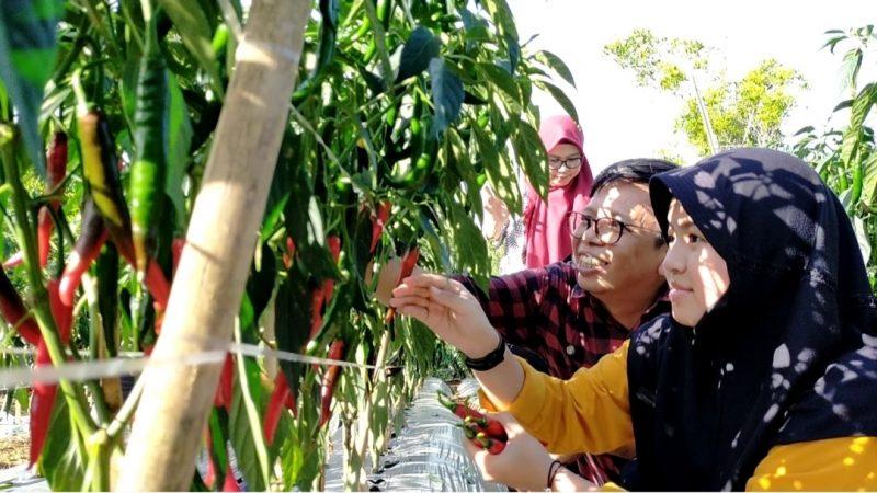 Wakil Bupati Bulukumba, Tomy Satria Yulianto (TSY) panen Cabe di kebun warga bersama keluarganya, Sabtu (19/9/2020).